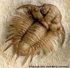 "Acanthopyge formally known as ""Bug-X"" From The Haragan Formation of Oklahoma, Collected and Prepared by Robert Carroll"